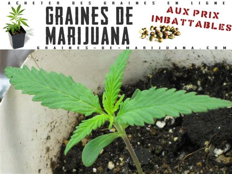 pousse graines de marijuana