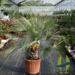 chamaerops humilis cerifera ou palmier nain cerifera ou palmier de m 233 diterran 233 e cerifera