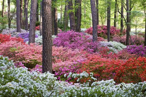 Blooming Of The Worldfamous Azaleas Has Arrived At