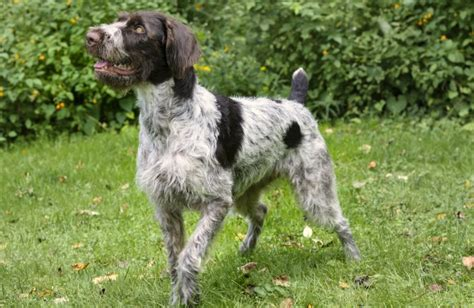 german wirehaired pointer non shedding 28 images german wirehaired pointer breed information