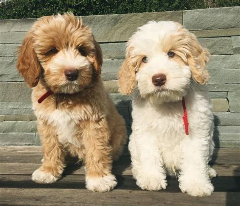 small medium non shedding breeds the 25 best hypoallergenic breed ideas on