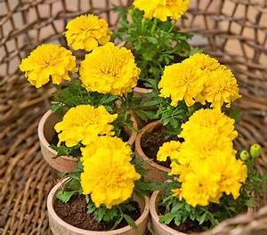 Ameisen Im Blumenbeet : studentenblume kleinblumig dehner ~ Whattoseeinmadrid.com Haus und Dekorationen
