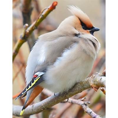 Bohemian Waxwing 03 by nordfold on deviantART