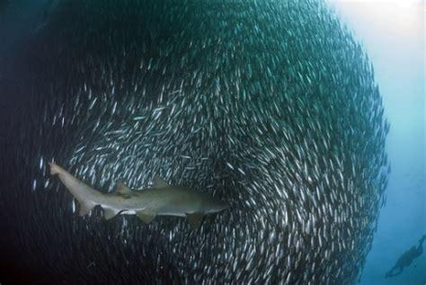 """La """"sardine Run"""" 2009  Des Images Incroyables"""