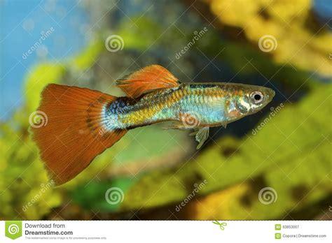 poissons de guppy dans un aquarium image stock image 63853007