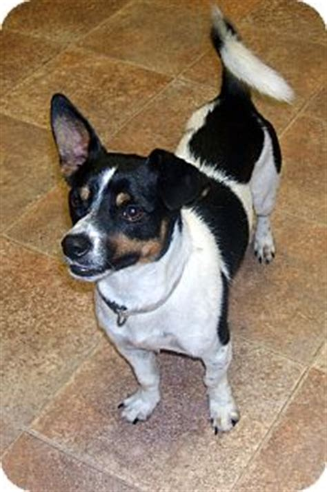 Rat Terrier Shedding Help by Toby Adopted Big Canoe Ga Rat Terrier