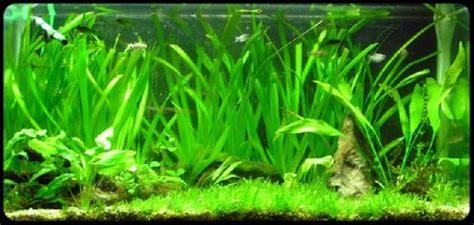 les plantes aquarium site de poisson tropicaux d eau douce