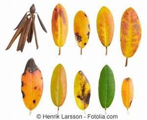 Was Tun Mit Pflanzen Im Urlaub : gelbe und vertrocknete bl tter am rhododendron was tun bei braunen flecken ~ Markanthonyermac.com Haus und Dekorationen