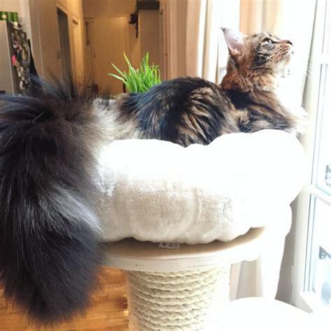 quel arbre 224 chat pour un maine coon bref je blogue