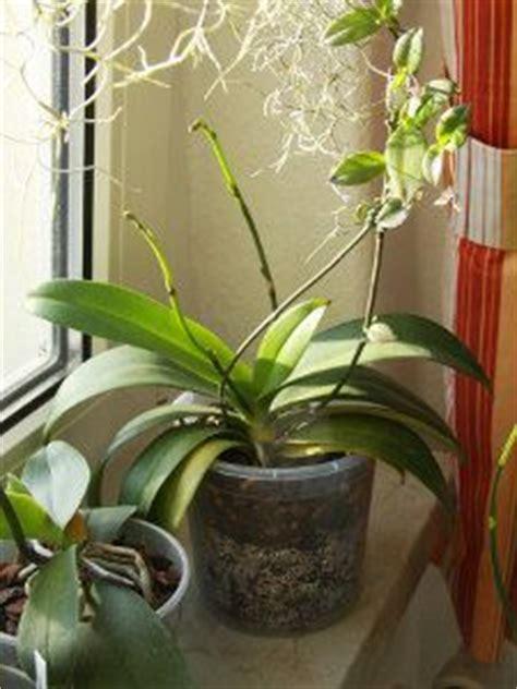 conseils d arrosage pour les orchid 233 es comment arroser une orchid 233 e entretien plantes