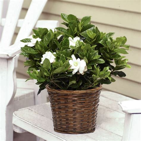 Fragrant Gardenia In Woven Basket  Flowering Plants