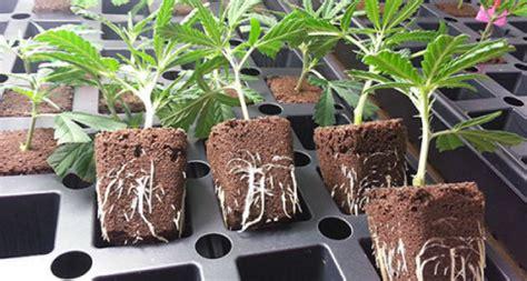 comment faire une bouture de cannabis comme un pro