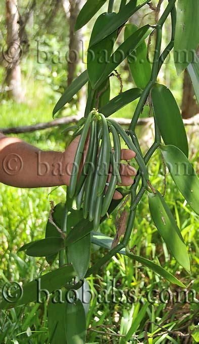 vanilla planifolia vanille