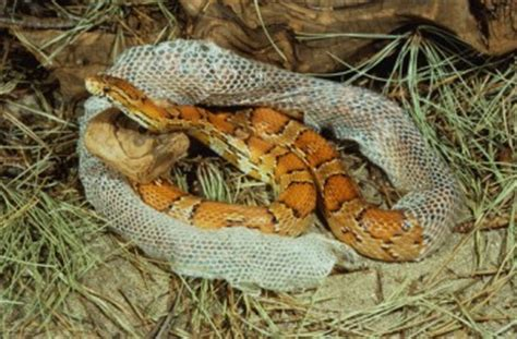 Corn Snake Shedding In Pieces by Real Tilapia Fish Leather Skin Https Img1 Etsystatic