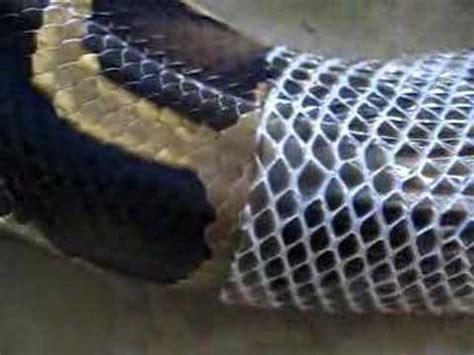 python shedding signs python shedding closeup