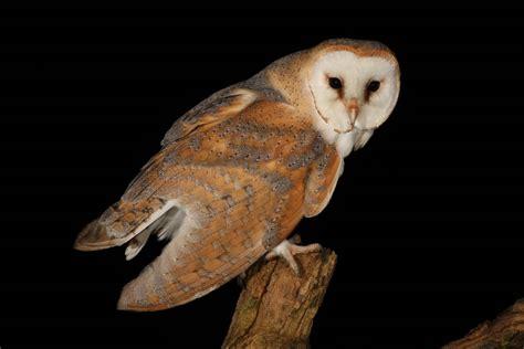 barn owl for barn owl animal wildlife