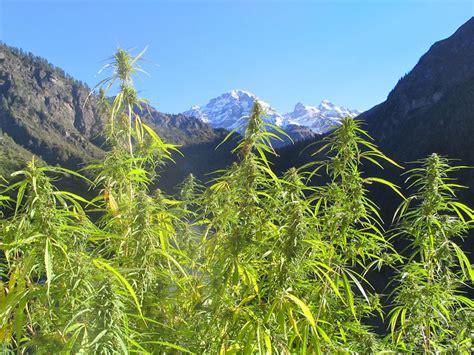 guide de culture cannabis exterieur