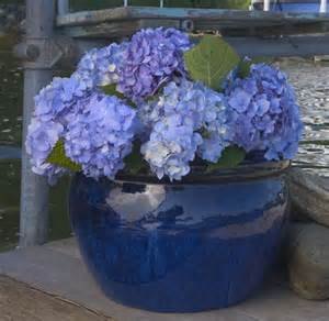 endless summer hydrangea does it live up to the hype