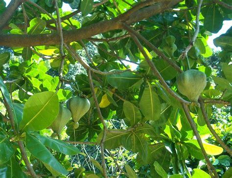 185 Best Images About Fruit Plants & Trees On Pinterest