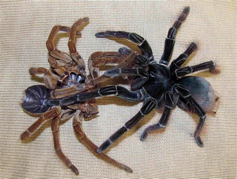 goliath spider spider amazonian as big as a