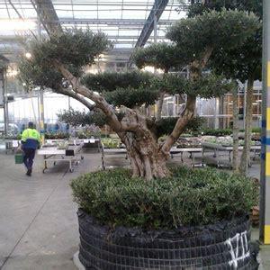 olivier centenaire niwaki olivier centenaire taille japonaise en nuage moneden