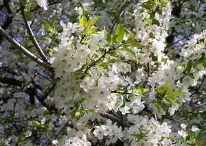 Kleiner Weißer Couchtisch : prunus cerasifa kirschplaume kleiner baum mit zeitiger weisser bl te ~ Markanthonyermac.com Haus und Dekorationen
