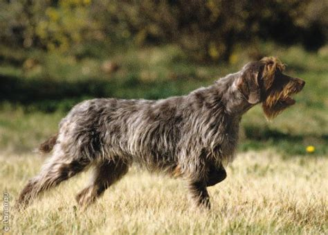wirehaired pointing griffon breeds