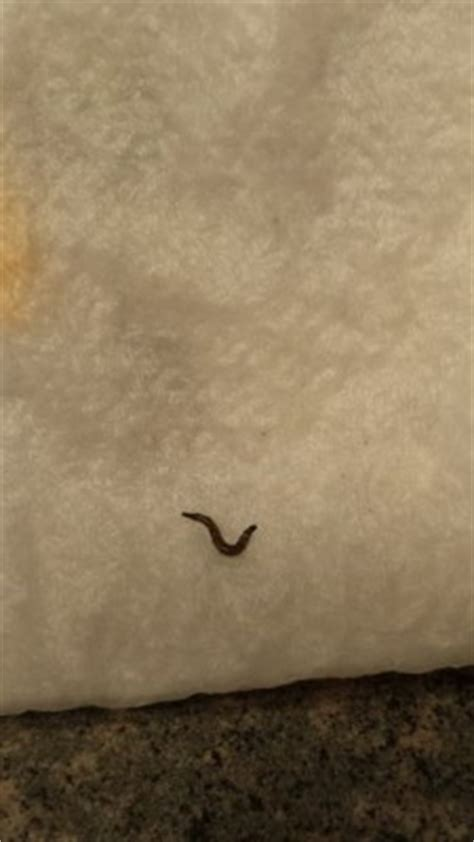 worm in toilet bowl probably drain fly larva all about worms