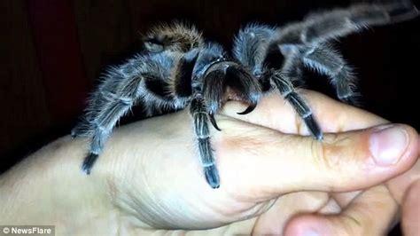 kayonna cole allows pet tarantula to bite daily