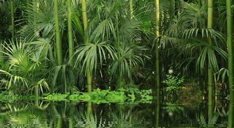 bambou entretien arrossage et rempotage