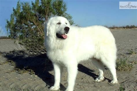 great pyrenees puppy for sale near los angeles california 151bc5dc e091