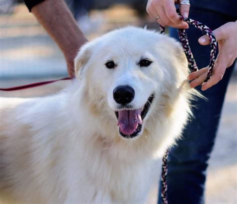 100 great pyrenees non shedding should you or should you not remove dew claws the