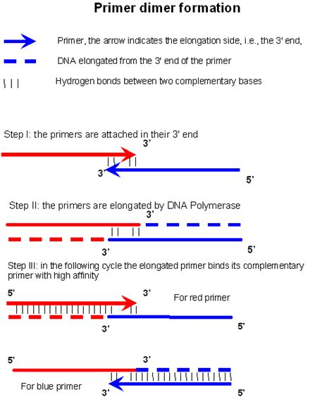 The Leading Strand Template Forms A Priming Loop by Primer Dimer Wikiwand