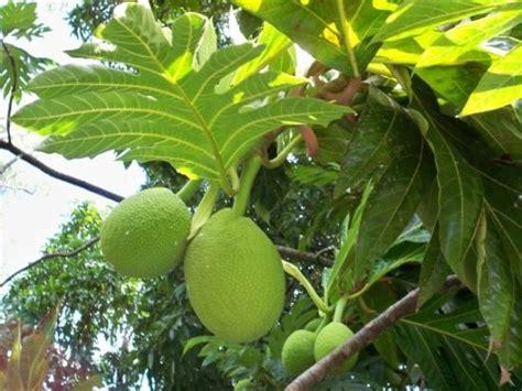 le fruit de l arbre 224 c est d 233 licieux en gratin photo de 206 le maurice afrique tripadvisor
