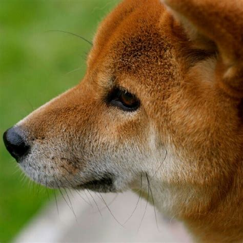 1000 images about shiba inu s on akita