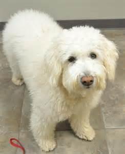 small medium non shedding breeds medium size non shedding dogs breeds picture