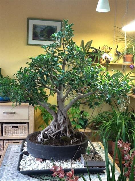 grand pot pour ficus c 233 ramique et poteries forums parlons bonsai