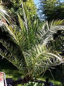 Palmen Für Die Wohnung : die richtige palme f r den garten kaufen ~ Markanthonyermac.com Haus und Dekorationen
