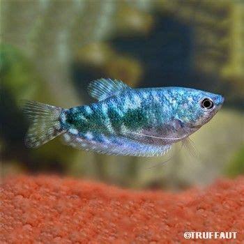 les 25 meilleures id 233 es de la cat 233 gorie poisson d eau douce sur poisson tropical