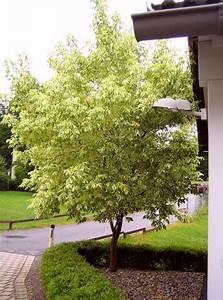 Baum Für Schattigen Vorgarten : hausbaum als sichtschutz mein sch ner garten forum ~ Markanthonyermac.com Haus und Dekorationen