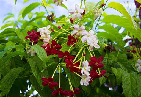Perennial Climbing Plants  Home Safe
