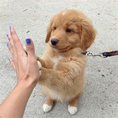 Cute Golden Retriever Puppies Tumblr