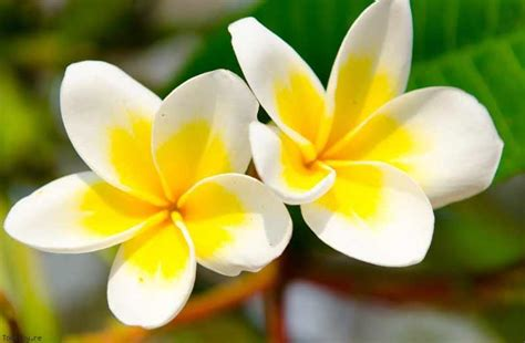 sles with pina smoothie freesia tahitian flowers adventures with the