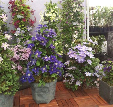 best 24 climbing plants for pots garden pics and tips