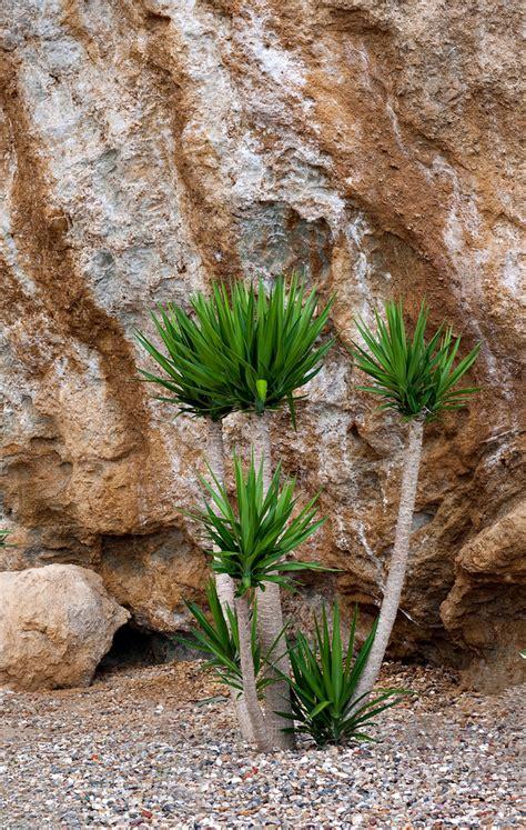 Yuccas  Hello Hello Plants & Garden Supplies