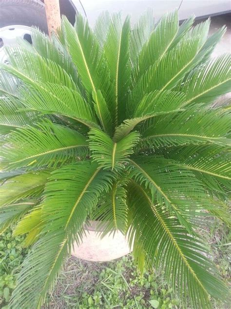 sago palm can grow in a pot 5yrs my green thumb