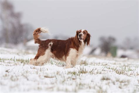 springer spaniel dogs breed information omlet