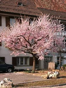 Baum Für Schattigen Vorgarten : kleinkronige b ume hauenstein rafz ~ Markanthonyermac.com Haus und Dekorationen