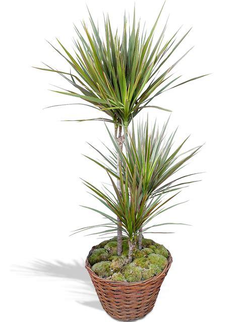 plante verte d 233 polluante dracaena en pot