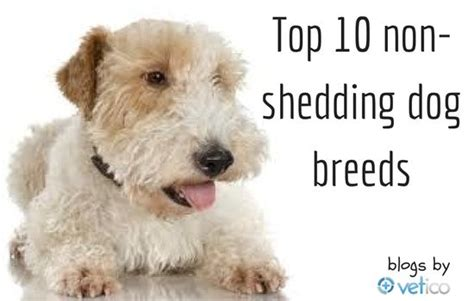 small white non shedding breeds 49 best images about hypoallergenic puppies on